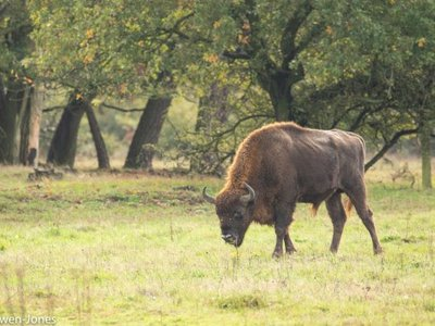A European bison in the Netherlands, which has also sought to reintroduce the herbivores.
