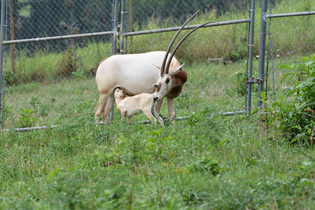 Two New Scimitar-Horned Oryx Calves Born Through Improved Methods of Artificial Insemination