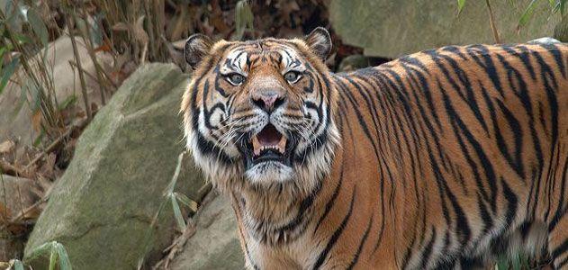 atm-tiger-631.jpg