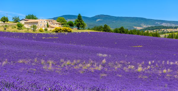 Lavender fields in Provence, Southern France thumbnail