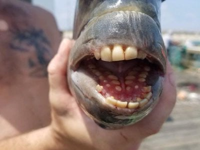 The coastal critter was dubbed the sheepshead fish for the way its mouth resembles the muzzle of a sheep.