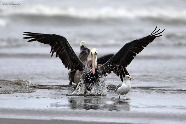 Pelicans of the Pacific  thumbnail