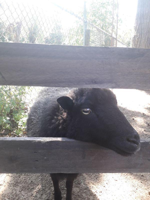 Black lamb thumbnail