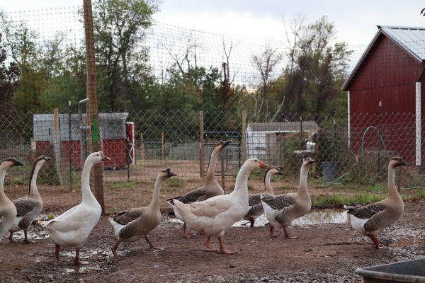Geese walking thumbnail