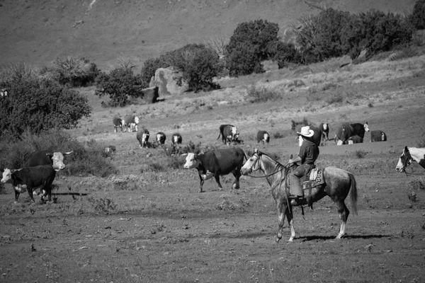 West Texas Cattle thumbnail