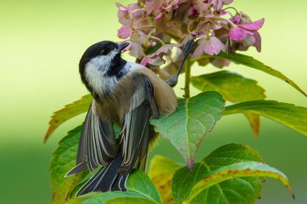 Black-capped Chickadee perched on Hydrangea thumbnail