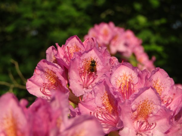 A rhododendron flower with a 'forest bee fly' (eristalis horticola) sitting on it thumbnail