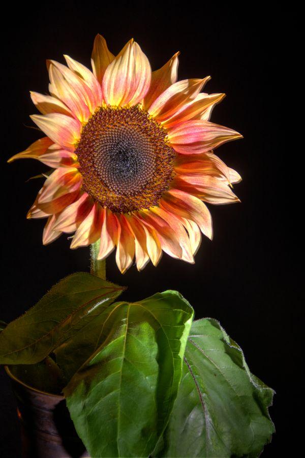 Sunflower in Pewter 2 thumbnail