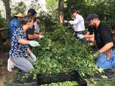 Smithsonian beer curator Theresa McCulla and colleagues from the Smithsonian Gardens harvest hops from the National Museum of American History's victory garden.