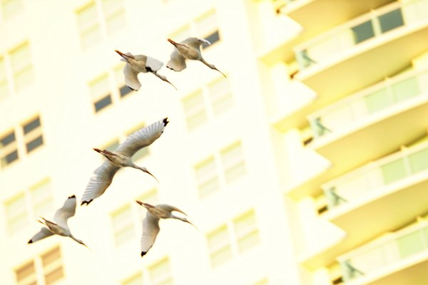 Ibises at sundown thumbnail