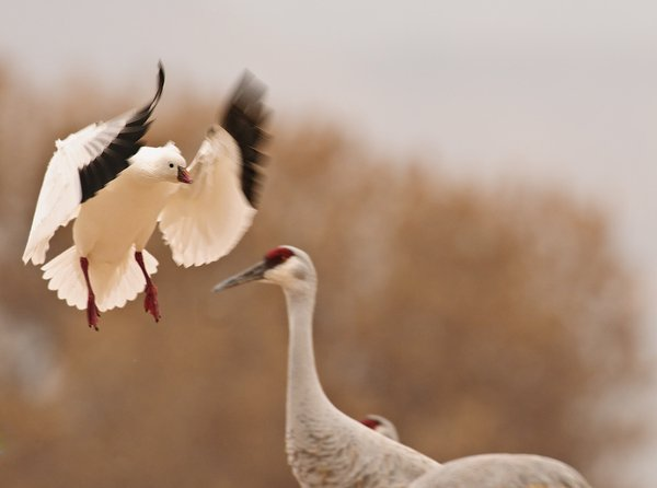 Snow Goose Lands while Crane Watches thumbnail