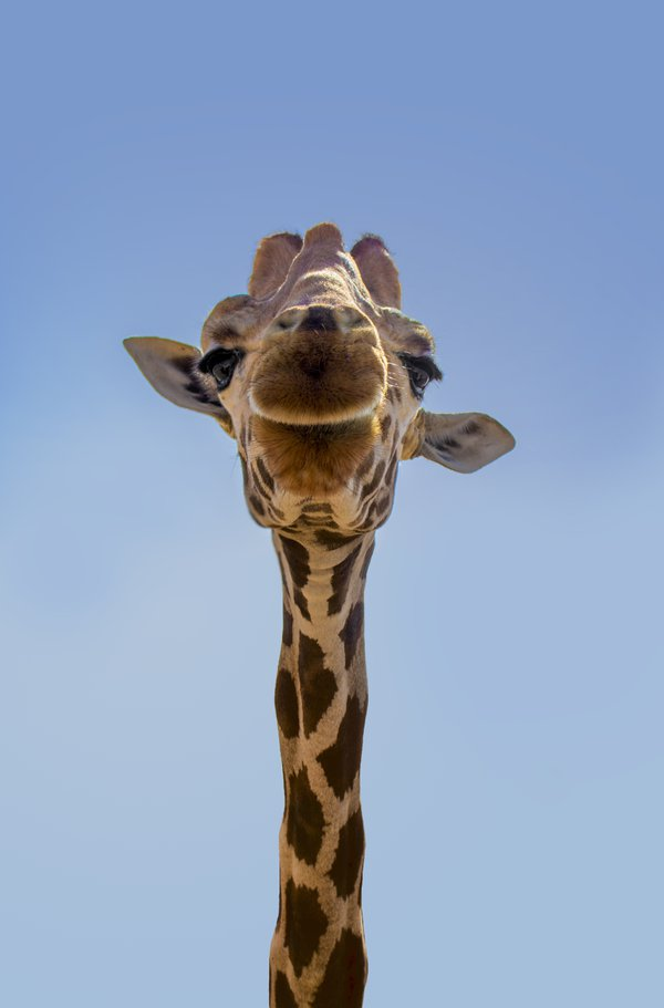 Giraffe thumbnail