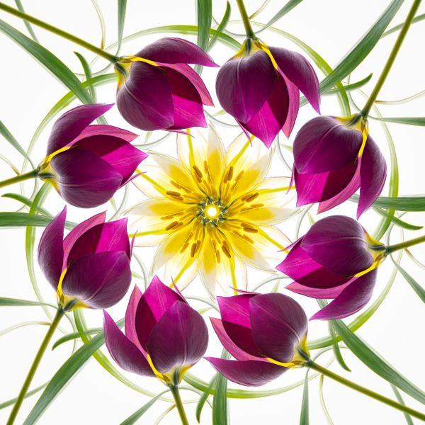 Mandala with Miniature Tulips thumbnail