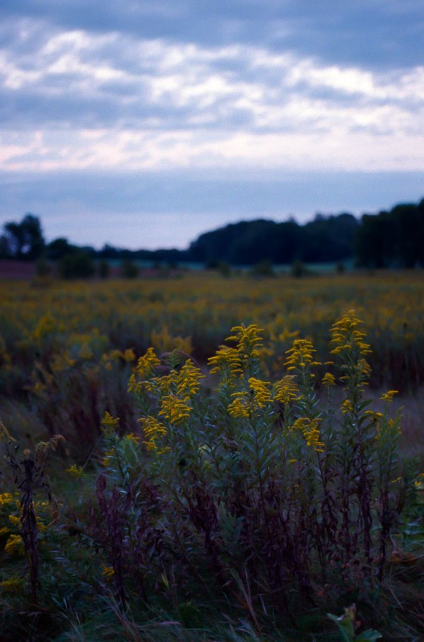 Goldenrod in the Prairie thumbnail