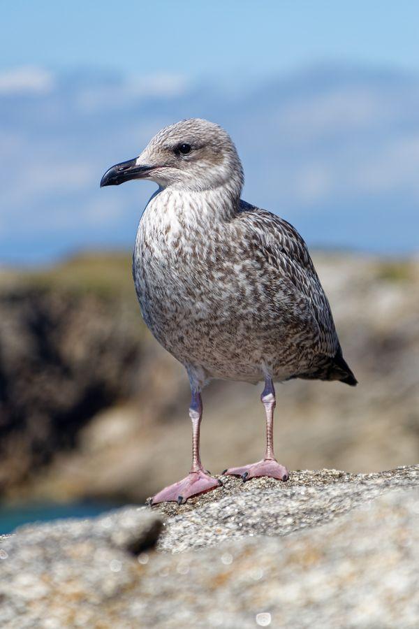 Young herring gull thumbnail