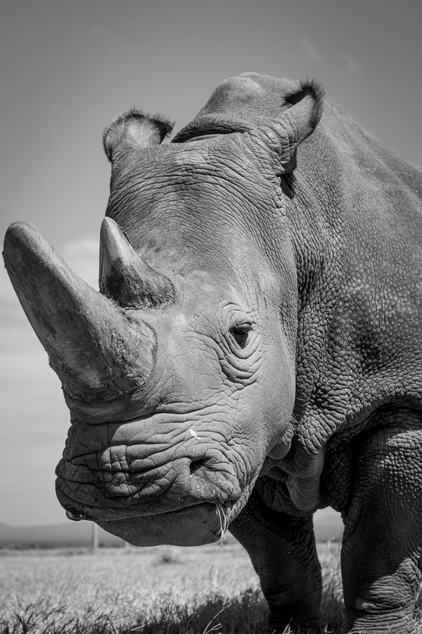 One of the last Northern White Rhino thumbnail