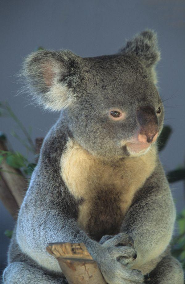 Baby Koala Bear In San Diego Zoo thumbnail