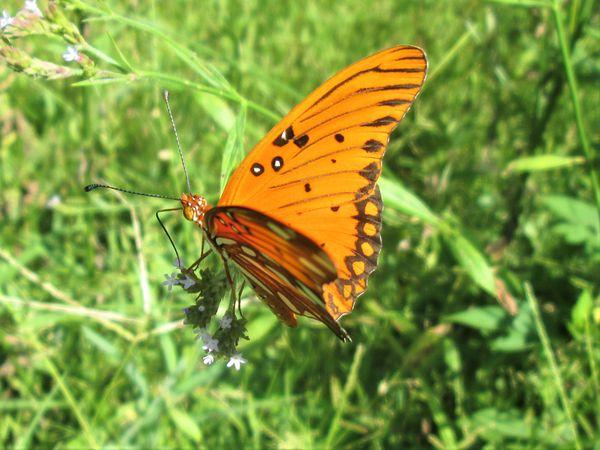 A Gulf Fritillary Butterfly thumbnail