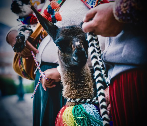 Llamas with Cusco Women  thumbnail