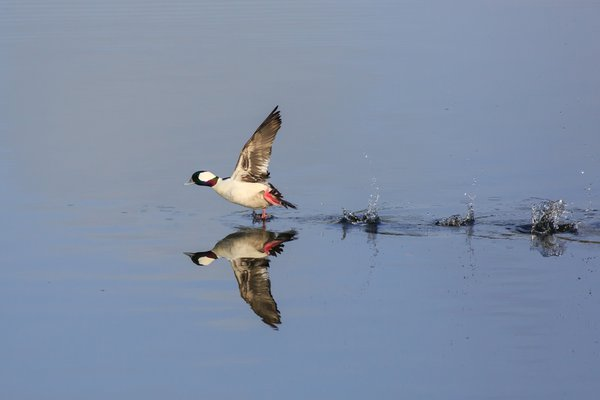 Bufflehead Duck takes Flight thumbnail
