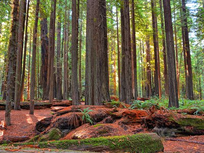 Redwood forest in California, similar to some of the terrain Josiah Gregg and his team crossed at the height of the California Gold Rush.