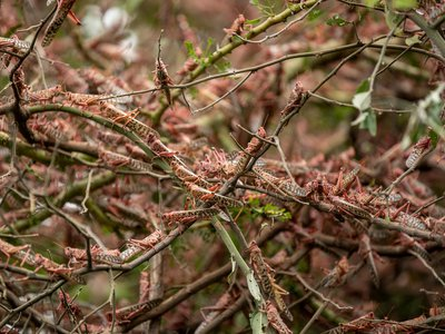 Desert locusts cover branches in Katitika village, Kitui county, in Kenya on Friday, January 24. Kenya hasn't seen locust swarms of this size in 70 years.