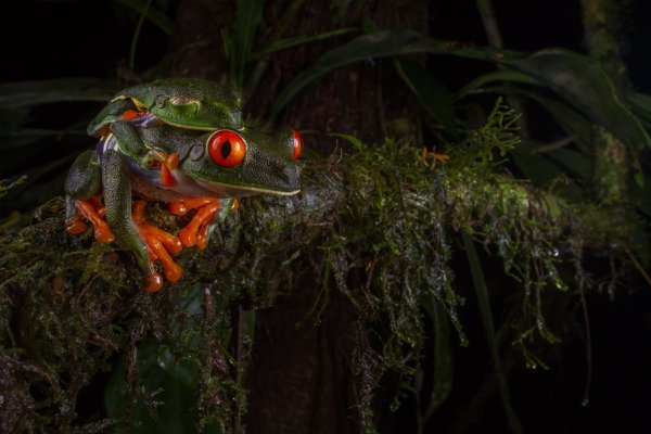 Mating Red-Eyed Tree Frogs thumbnail