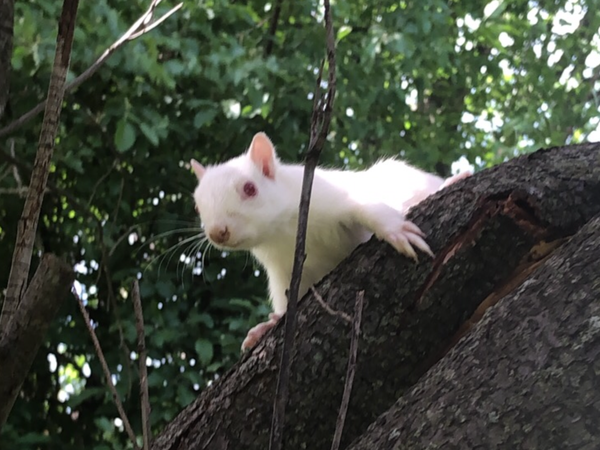 Albino Squirrel in Michigan  thumbnail