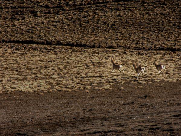 Running antelopes thumbnail