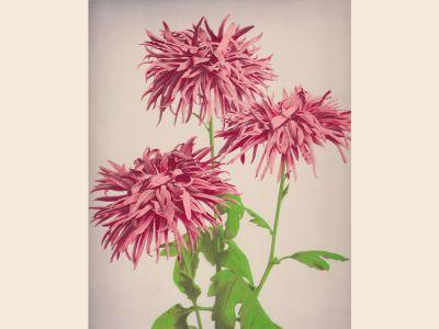 Kazumasa Ogawa, Chrysanthemum from Some Japanese Flowers. ca. 1894