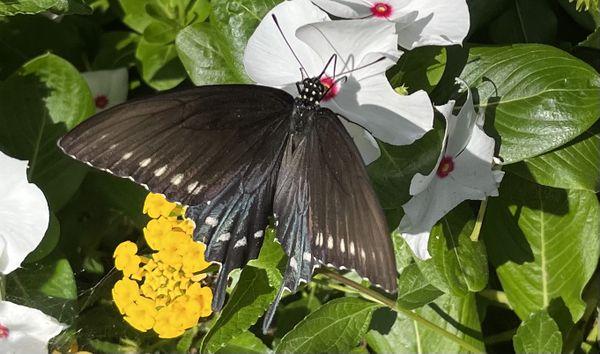 Black Swallowtail enjoying Vinca thumbnail