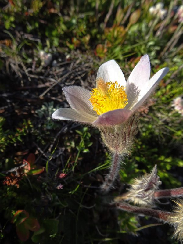 Arctic violet growing by a trail in the Jotunheim Mts, Norway thumbnail