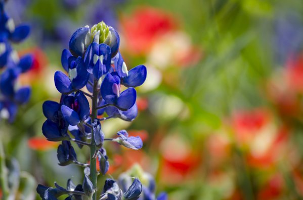 Bluebonnets and Indian Paintbrush thumbnail