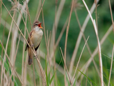 A great reed warbler croons at his breeding grounds in the Netherlands.