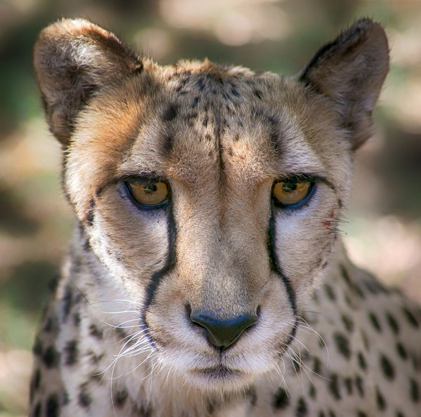 Cheetah Waiting for Her Morning Run thumbnail