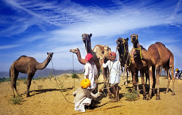 title :PUSKAR. camel is the main transport in the  remort village of rajasthan. thumbnail