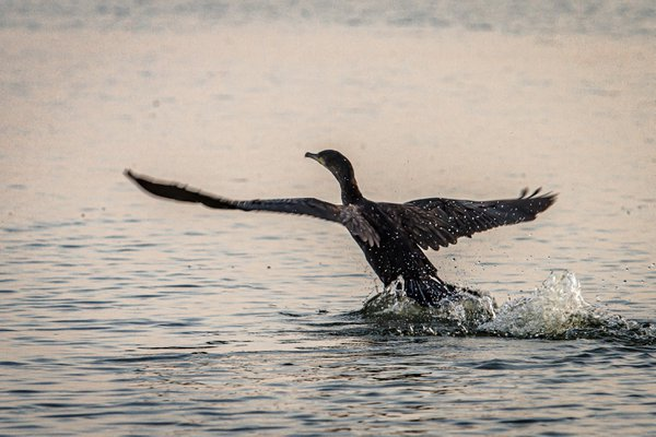 Cormorant taking off thumbnail