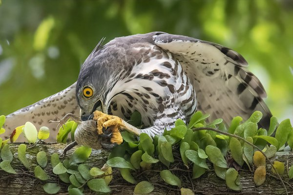 Crested Goshawk having its lunch thumbnail