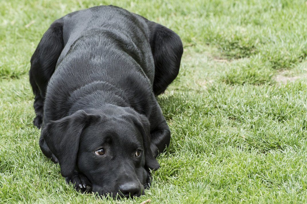 Labrador Tops Most Popular Dog Breed List for 29th Year in a Row