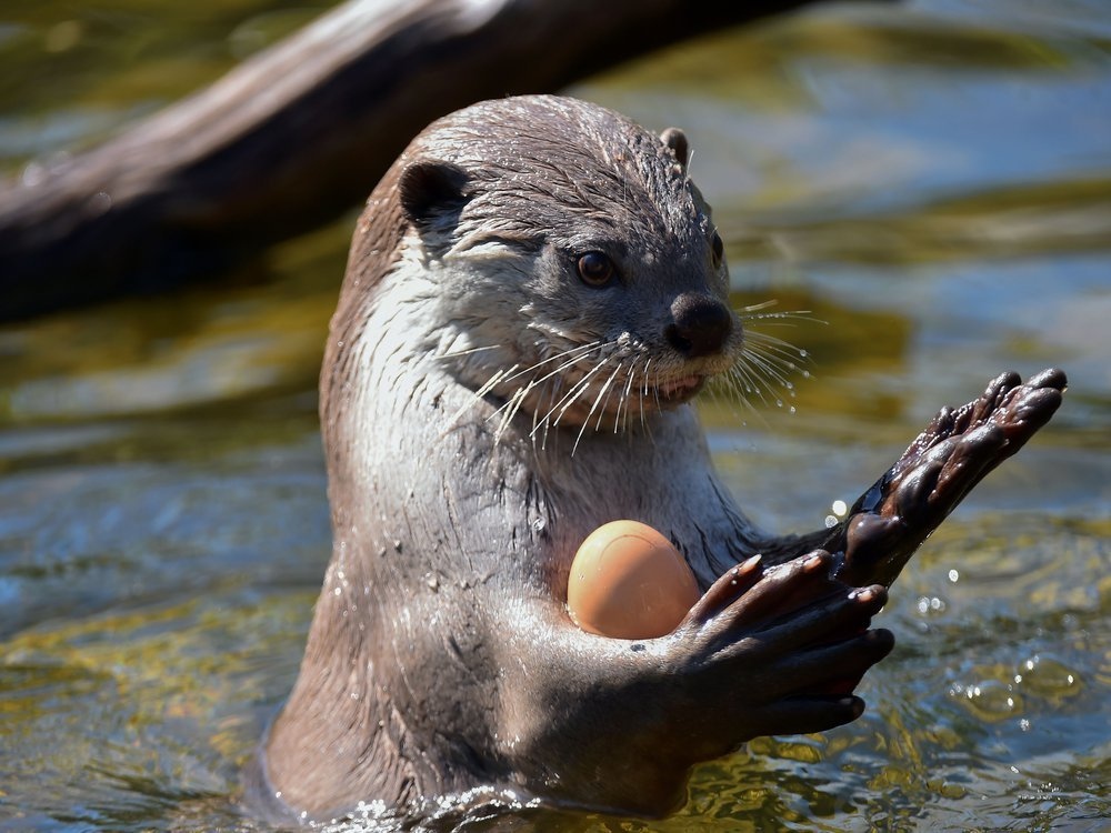 Otter juggles a ball in a pool.