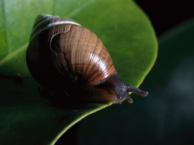 A photo of Achatinella mustelina