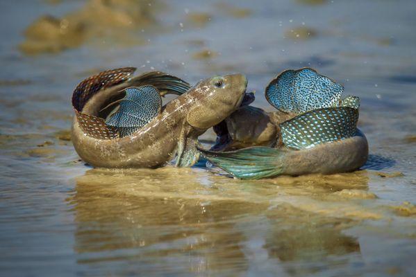 mudskipper fight thumbnail