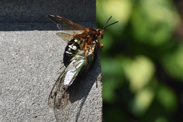 Killer Wasp thumbnail