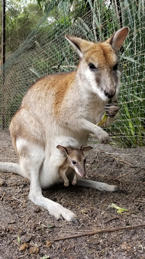 A mother and her Roo in Western Australia  thumbnail