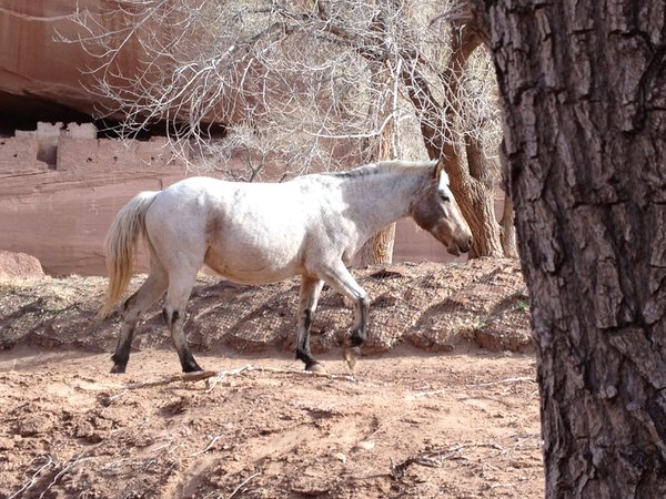 Wild horse passing White House Ruins while hiking in Canyon De Chelly thumbnail