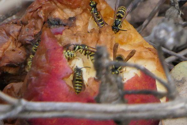 Wasps eating an apple thumbnail