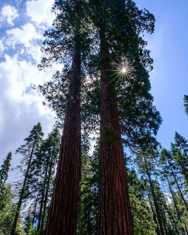 Sunstar through Giant Sequoia thumbnail