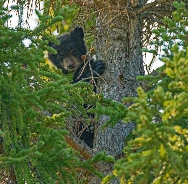 Black Bear Cub 1 thumbnail