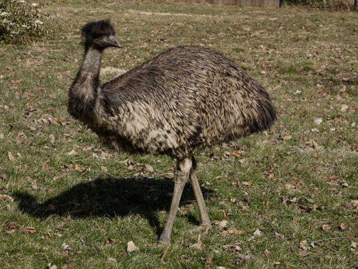 20110520110703Australia-Day-emu-National-Zoo-1.jpg