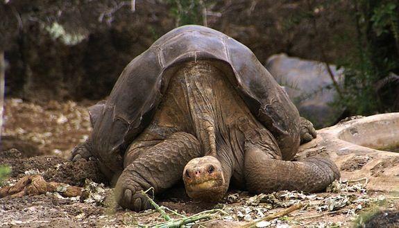 20130702094026Lonesome_George_-Pinta_giant_tortoise_-Santa_Cruz.jpg